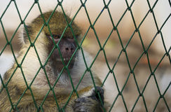Monkey in a cage at the Zoo, Brasov Royalty Free Stock Photos