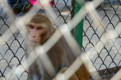 Monkey in a Cage. At the Zoo. Feeling trapped, helpless, unhappy and afraid royalty free stock images