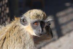 Monkey - Cape Verde - Africa. Sad eyes, monkey on Sao Tiago Island - Capo Verde Royalty Free Stock Images