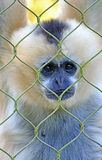 Monkey in Captivity Royalty Free Stock Image