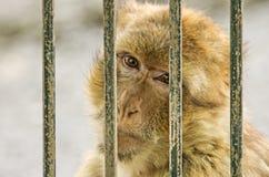 Monkey in captivity Stock Photo