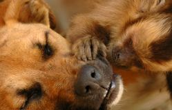 Monkey caring for a dog. A cute monkey caressing his dog friend who is sleeping stock photos