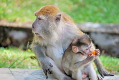 Monkey caring for it's young. A monkey looking around while the young ones eat. This image was taken at penang botanical garden Royalty Free Stock Photo