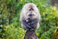 Monkey carrying baby monkey Stock Photos