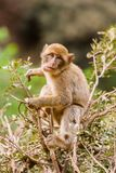 Monkey at Cascades d`Ouzoud Waterfall at Ouzoud, Morocco royalty free stock photo