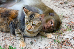 Monkey and cat. Macaque monkey hugging domestic cat Royalty Free Stock Photos
