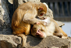 Monkey catch lice Royalty Free Stock Image