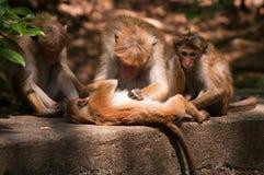 Monkey catch louse. Monkeys catch louse each other Royalty Free Stock Images