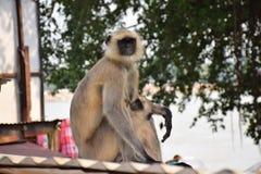 Monkey. Ce sont des singe indien Stock Photo