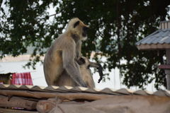 Monkey. Ce sont des singe indien Royalty Free Stock Photos