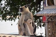 Monkey. Ce sont des singe indien Stock Images