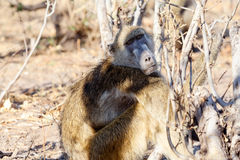 Monkey Chacma Baboon family, Africa safari wildlife and wilderness. Monkey Chacma Baboon on ground Papio anubis, Caprivi strip game park, Nambwa Namibia, Africa Royalty Free Stock Images