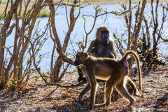 Monkey Chacma Baboon family, Africa safari wildlife and wilderness. Monkey Chacma Baboon on ground Papio anubis, Caprivi strip game park, Nambwa Namibia, Africa Stock Image