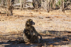 Monkey Chacma Baboon family, Africa safari wildlife and wilderness. Monkey Chacma Baboon on ground Papio anubis, Caprivi strip game park, Nambwa Namibia, Africa Stock Photography
