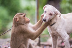 Monkey checking for fleas and ticks in the dog. A monkey checking for fleas and ticks in the dog royalty free stock images