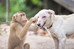 Monkey checking for fleas and ticks in the dog. A monkey checking for fleas and ticks in the dog royalty free stock photos
