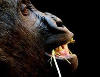 Monkey chewing straw Stock Image