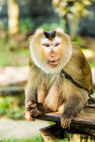 Monkey  in chiangmai province Thailand Stock Photos