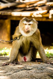 Monkey  in chiangmai province Thailand Royalty Free Stock Images