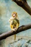 Monkey in chiangmai Thailand Royalty Free Stock Image