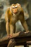 Monkey in chiangmai zoo chiangmai Thailand Stock Photography