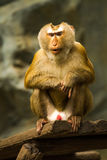 Monkey in chiangmai zoo chiangmai Thailand Stock Photo