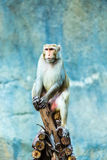 Monkey  in chiangmai zoo, chiangmai Thailand Stock Photography