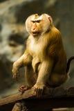 Monkey in chiangmai zoo chiangmai Thailand Royalty Free Stock Photo