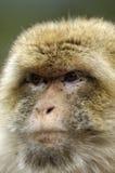 Monkey Chief Royalty Free Stock Image