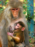 Monkey with child. Female Monkey is sting with her child Stock Photo