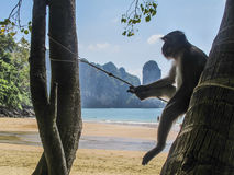 Monkey chilling out in Ao Nang, Thailand. Monkey chilling out in the beach in Ao Nang, Thailand Royalty Free Stock Photography