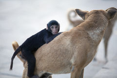 Monkey chimpanzee sitting on a street dog and playing with it Royalty Free Stock Image