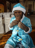 Monkey in Christmas costume Royalty Free Stock Photography