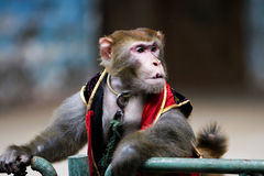 Monkey  of circus. The monkey  of circus in a zoo Stock Images