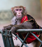 Monkey  of circus. The monkey  of circus in a zoo Royalty Free Stock Photos