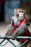 Monkey  of circus. The monkey  of circus in a zoo Royalty Free Stock Image