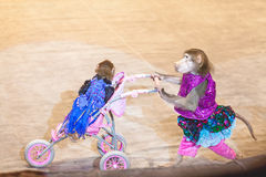 Monkey in circus driven wheelchair with little monkey Royalty Free Stock Photos
