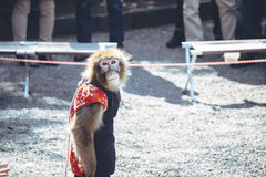 Monkey circus look and prepare to show his performance. Royalty Free Stock Photography