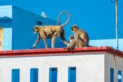Monkey in the city - langurs invade a rooftop in Udaipur, India. Two gray langur females with monkey baby (Semnopithecus dussumieri) invade a rooftop in Udaipur stock image