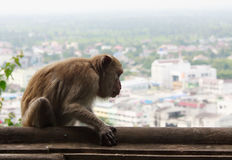 Monkey with City view Royalty Free Stock Photo