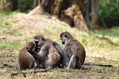Monkey clean themselves Royalty Free Stock Image