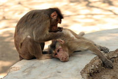 A monkey cleaning another monkey. Two Indian monkeys cleaning each other's fur Royalty Free Stock Photography