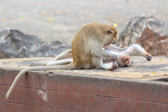 Monkey cleaning it`s couple Stock Photography