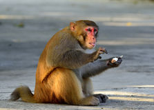 Monkey. A clever monkey is  eating an ice cream which was robbed  from a tourist Stock Photos
