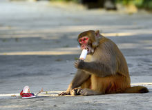 Monkey. A clever monkey is  eating an ice cream which was robbed  from a tourist Royalty Free Stock Photography