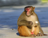 Monkey. A clever monkey is  eating an ice cream which was robbed  from a tourist Royalty Free Stock Photo