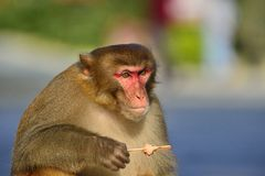 Monkey. A clever monkey is  eating an ice cream which was robbed  from a tourist Royalty Free Stock Photos