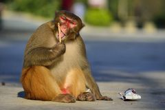 Monkey. A clever monkey is  eating an ice cream which was robbed  from a tourist Royalty Free Stock Images