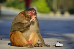 Monkey. A clever monkey is  eating an ice cream which was robbed  from a tourist Stock Images