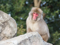 Monkey with clever eyes Royalty Free Stock Photos